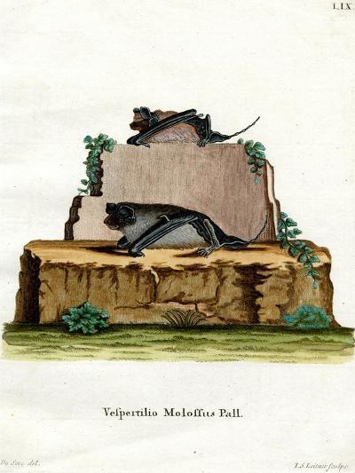 Pallas's Mastiff Bat--Giclee Print