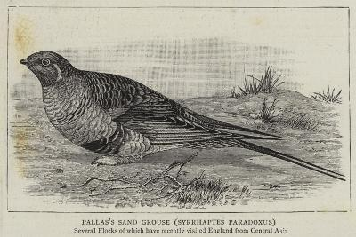Pallas's Sand Grouse, Syrrhaptes Paradoxus--Giclee Print