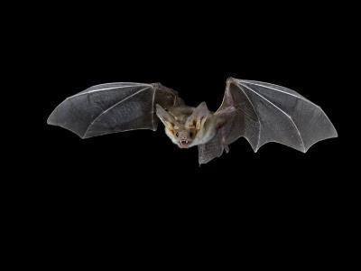 Pallid Bat in Flight, Near Portal, Arizona, USA-James Hager-Photographic Print