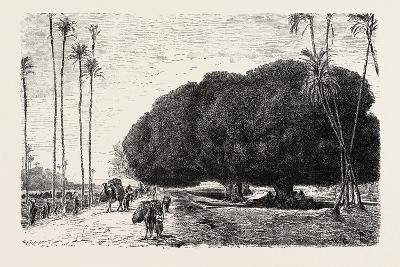 Palm and Sycamore, Thinnest and Thickest of the Trees of the Nile Valley. Egypt, 1879--Giclee Print