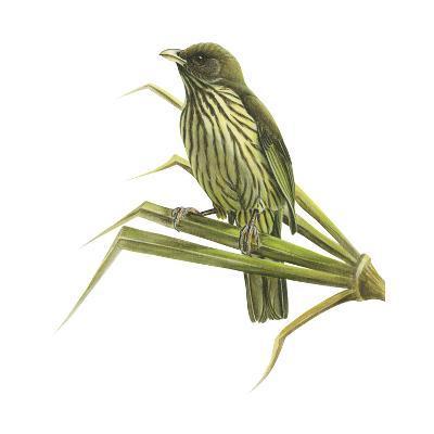 Palm-Chat (Dulus Dominicus), Birds-Encyclopaedia Britannica-Art Print