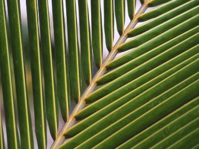 Palm, Fiji-David Wall-Photographic Print