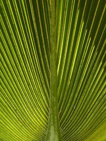 Palm Frond, Nadi, Viti Levu, Fiji, South Pacific-David Wall-Photographic Print