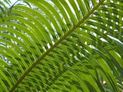 Palm Fronds, Florida, USA-Lisa S^ Engelbrecht-Photographic Print