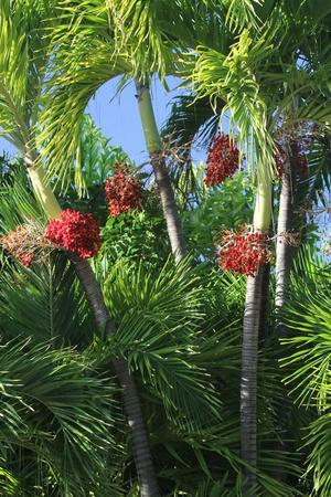 Palm Fruit Vertical-Robert Goldwitz-Photographic Print