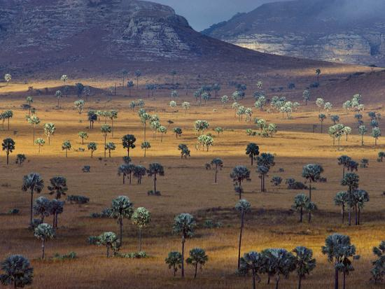 Palm Savanna, Horombe Plateau, Southern Madagascar-Frans Lanting-Photographic Print