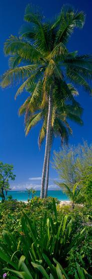 Palm Tree and Plants on the Beach, Cat Island, Bahamas--Photographic Print