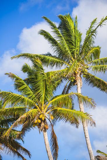 Palm Tree, Muri, Rarotonga, Cook Islands, South Pacific, Pacific-Matthew Williams-Ellis-Photographic Print
