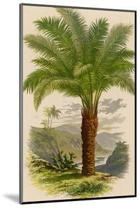 Palm Tree (Sago): Cycas Ruminiana