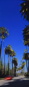 Palm Trees Along a Road, Beverly Hills, Los Angeles County, California, USA