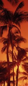 Palm Trees at Dusk, Kalapaki Beach, Kauai, Hawaii, USA