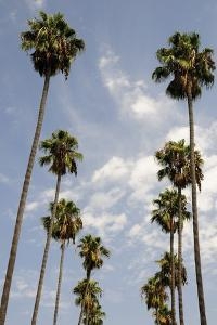 Palm Trees at Hollywood Forever Memorial Park Final Resting Place for Many a Hollywood Star in…