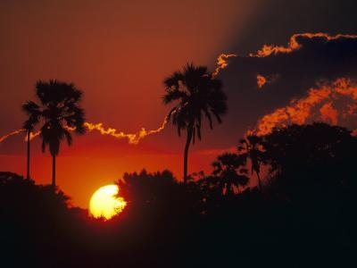 Palm Trees Silhouetted at Sunset, Okavango Delta, Botswana-Pete Oxford-Photographic Print