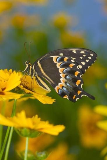 Palmates Swallowtail Butterfly-Darrell Gulin-Photographic Print