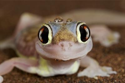 Palmato Gecko Close Up of the Head with Water Droplets--Photographic Print