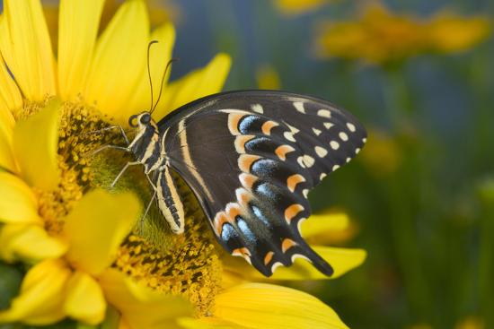 Palmedes Swallowtail Butterfly-Darrell Gulin-Photographic Print