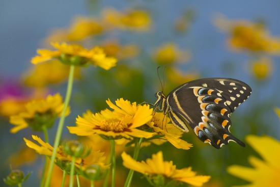 Palmedes Swallowtail-Darrell Gulin-Photographic Print