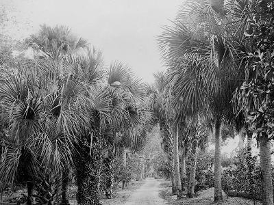 Palmettos at Bostroms, Ormond, Fla.--Photo