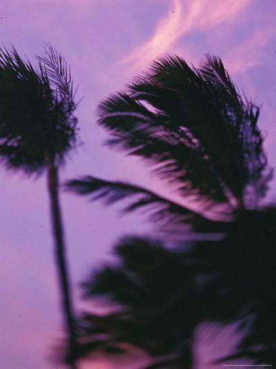 Palms at Sunset, Hawaii, USA-Stuart Westmoreland-Photographic Print
