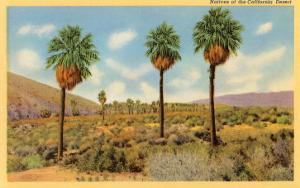 Palms in the California Desert