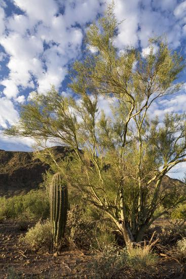 Palo Verde Trees And A Young Saguaro Cactus Picacho Peak State Park