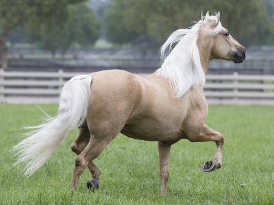 https://imgc.artprintimages.com/img/print/palomino-andalusian-stallion-trotting-in-paddock-ojai-california-usa_u-l-q10nynj0.jpg?p=0
