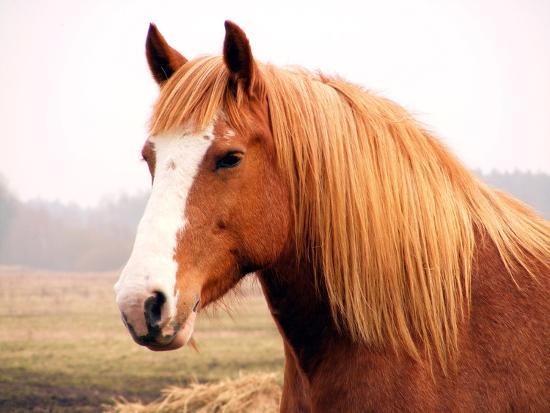 Palomino Horse Portrait-Anastasija Popova-Photographic Print