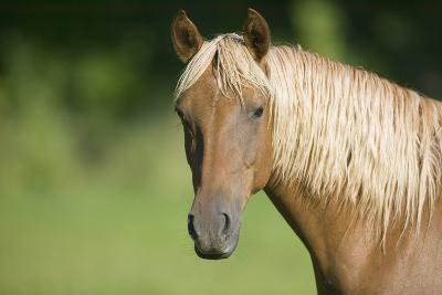 Palomino Stallion-DLILLC-Photographic Print