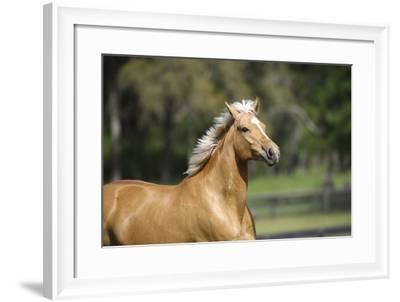 Palomino Warmbloods 012-Bob Langrish-Framed Photographic Print