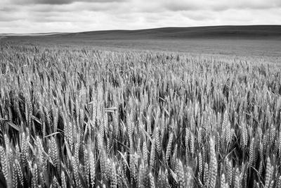 Palouse Wheat Field, Washington-James White-Photographic Print