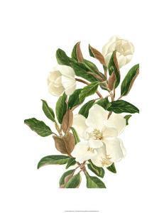 Magnolia II by Pamela Shirley
