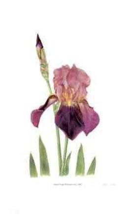 Old Garden Iris