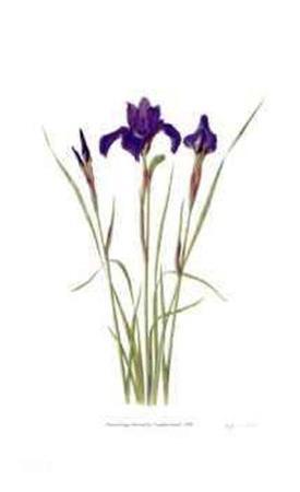 Siberian Iris `Sapphire Royal`