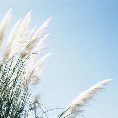Pampas Grass-Cristina-Photographic Print