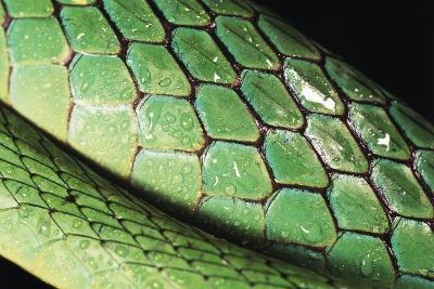 Panama, Central Panama, Barro Colorado Island, Green Parrot Snake-Christian Ziegler-Photographic Print