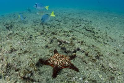 Panamic Cushion Star, Galapagos Islands, Ecuador-Pete Oxford-Photographic Print
