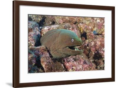 Panamic Green Moray Eel (Gymnothorax Castaneus)-Reinhard Dirscherl-Framed Photographic Print
