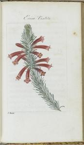 Almanach de Flore : Erica Vestita by Pancrace Bessa