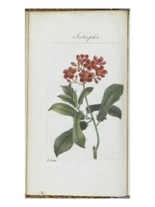 Almanach de Flore : Iatrophia by Pancrace Bessa