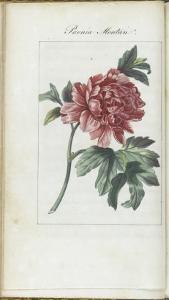 Almanach de Flore : Paonia Moutan by Pancrace Bessa