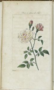 Almanach de Flore : Rose à odeur de Thé by Pancrace Bessa