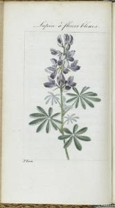 Almanach de Flore : Sapin à fleurs bleues by Pancrace Bessa