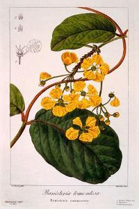 Banisteria Tomentosa, 1836 by Pancrace Bessa