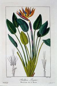 Bird of Paradise, or Crane Flower, 1836 by Pancrace Bessa