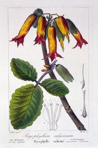 Bryophyllum Calycinum, or Kalanchoe Pinnata, 1836 by Pancrace Bessa