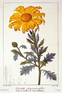 Calenudla Officinalis, or Pot Marigold, 1836 by Pancrace Bessa