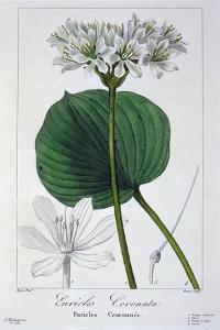 Euricles Coronata, 1836 by Pancrace Bessa