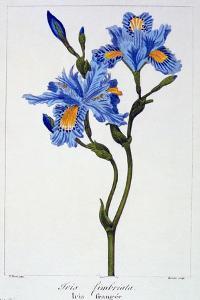 Fringed Iris, 1836 by Pancrace Bessa