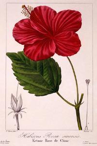 Hibiscus Rosa-Sinensis, 1836 by Pancrace Bessa