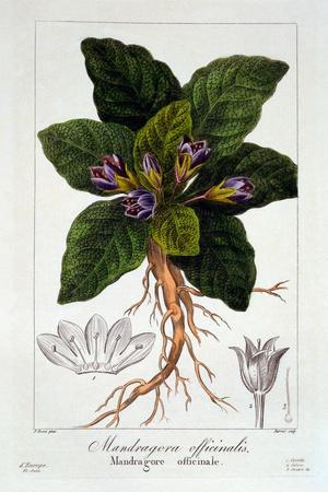 Mandragora Officinarum, 1836